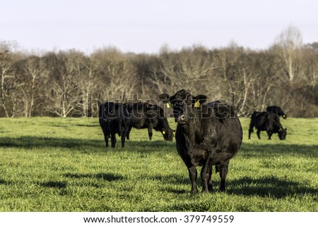 Angus cows on green spring rye grass pasture with blank area to the left