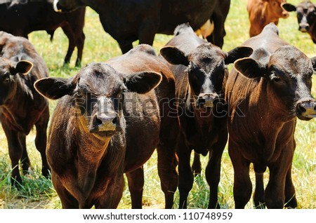 Angus cross calves grazing in a field in the Willamette Valley in Oregon - stock photo