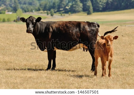 Angus cross cow and calf in a summer field on a ranch in Oregon - stock photo