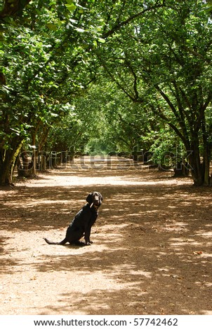 Angus the black lab blood hound in a hazelnut orchard in the Willamette Valley near McMinville OR.