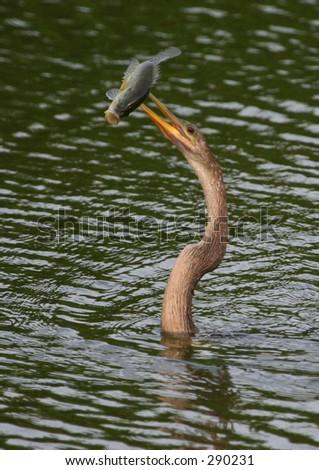 Anhinga (Anhinga anhinga) with speared large-mouth bass, Everglades NP - stock photo