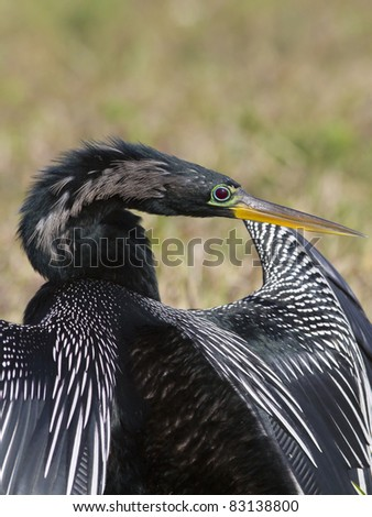 Anhinga at Loxahatchee