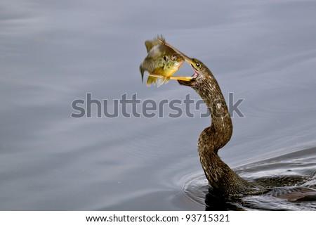 anhinga downing a fish in wetland pond - stock photo