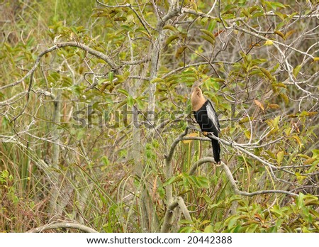 Anhinga in dense vegetation (natural environment) - stock photo
