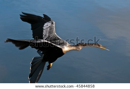 Anhinga in flight. The Anhinga (Anhinga anhinga), is a water bird of the warmer parts of the Americas.  It is a cormorant-like bird. - stock photo