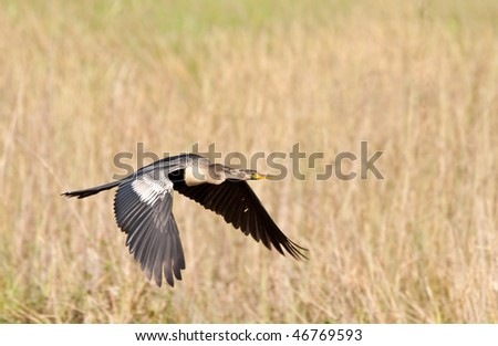Anhinga in flight. The Anhinga (Anhinga anhinga), is a water bird of the warmer parts of the Americas. .It is a cormorant-like bird. - stock photo