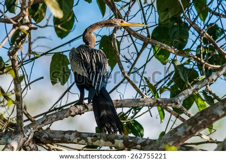 Anhinga standin on branch in the peruvian Amazon jungle at Madre de Dios Peru - stock photo
