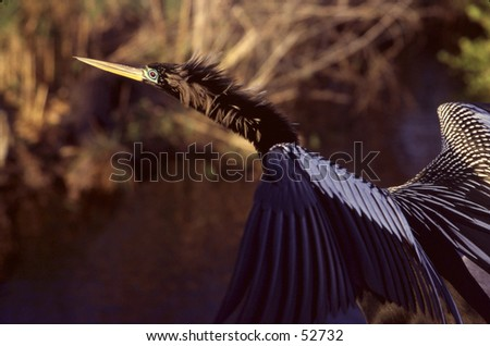 Anhinga taking off - stock photo