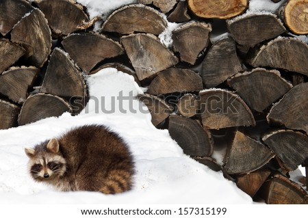 Animal.  A young raccoon out near the woodpile in the winter. - stock photo