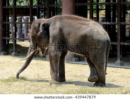 Animal and Wildlife, Portrait of Asian Elephant Eating Green Grass, The Largest Living Land Animals in Asia. - stock photo