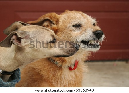Animal behavior. Young Italian Greyhound getting too close to an older terrier dog who is snarling at her - stock photo