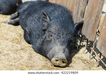 animal black pig have a rest on the farm - stock photo
