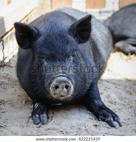 animal black pig have a rest on the farm