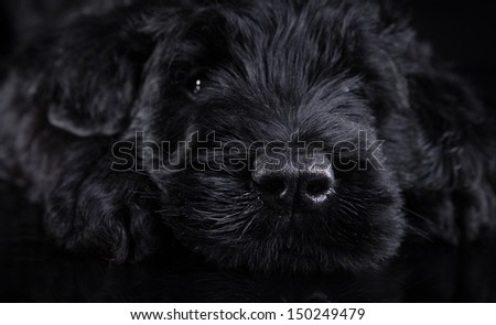 animal, dog breed, pet, puppy big black terrier