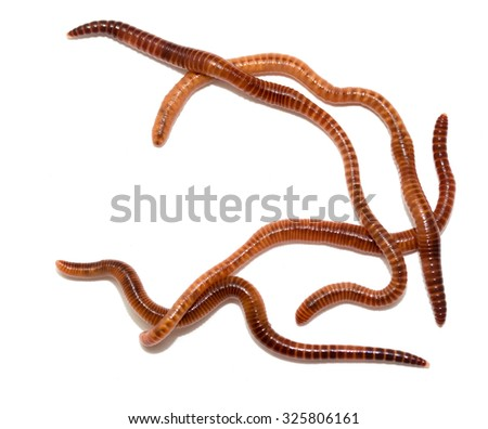 animal earth worm isolated on white