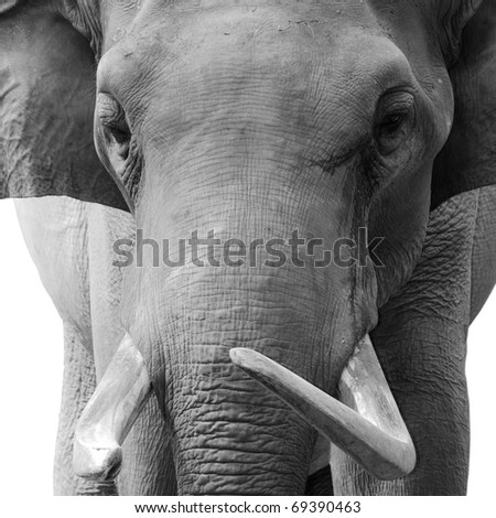 animal elephant head black and white - stock photo