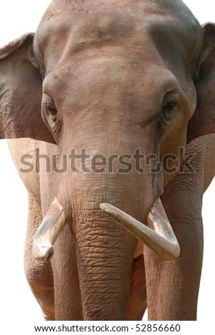 animal elephant head isolated in white - stock photo