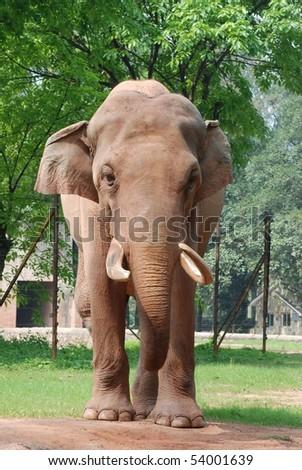 animal elephant stand on ground - stock photo