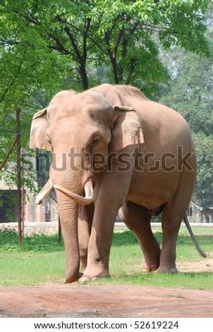 animal elephant walk on ground - stock photo