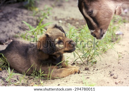 Animal friends - dog puppy and a young goat  - stock photo