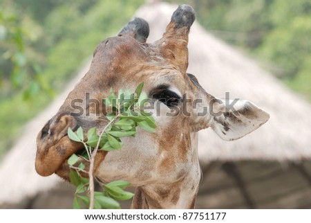 animal giraffe close up - stock photo