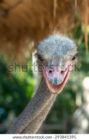 Animal head portrait - Closeup of Ostrich head with sweet eyes - stock photo