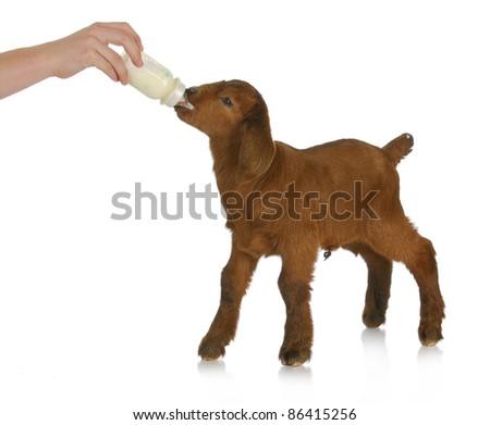 animal health - hand bottle feeding baby goat on white background - stock photo