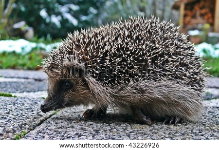 Animal Hedgehog