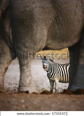 Animal humor; Zebra barking; seen through elephants legs; Etosha