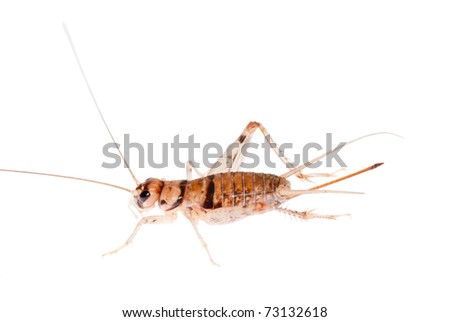animal insect cricket - stock photo