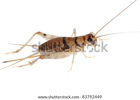 animal insect cricket isolated on white - stock photo