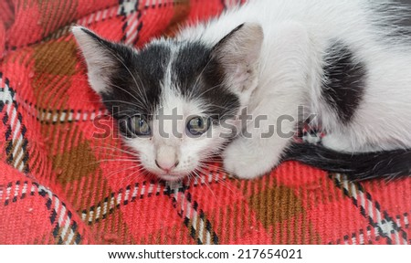 animal little kitten (thai cats) on textile pattern