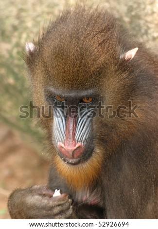 animal monkey mandrill - stock photo