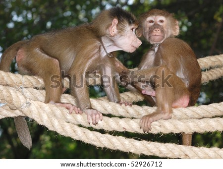 animal monkey sex - stock photo