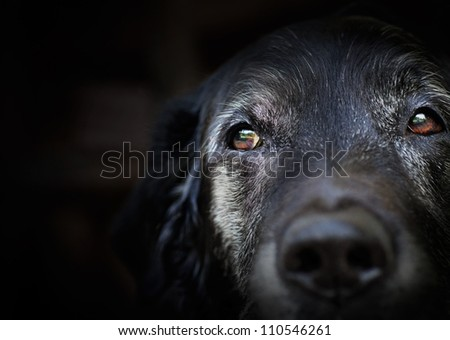 Animal - Old dog. labrador retriever macro shot. - stock photo