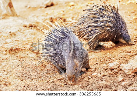 Animal Porcupines in their natural habitat wild.