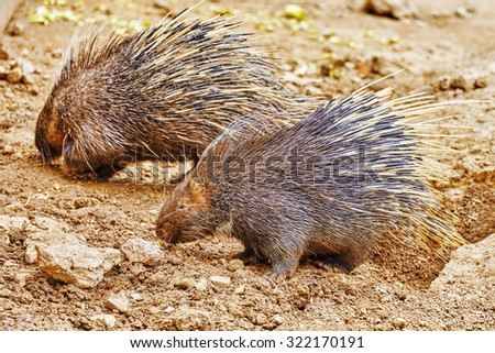 Animal Porcupines in their natural habitat wild. - stock photo