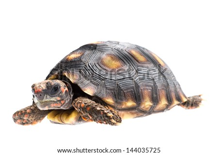 animal red foot tortoise isolated on white. - stock photo