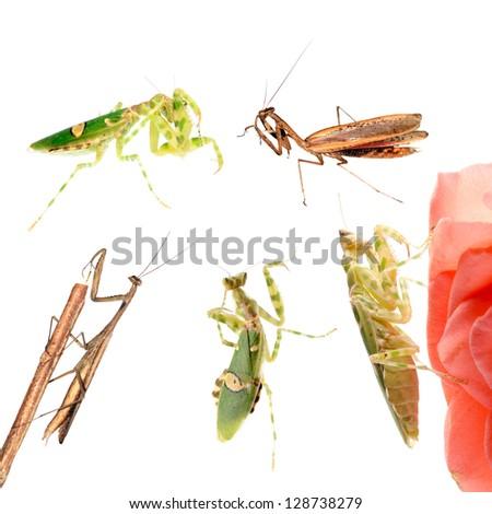 animal set, praying mantis collection isolated - stock photo