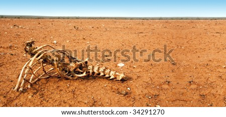 Animal skeleton in arid red desert.  Outback New South Wales, Australia.