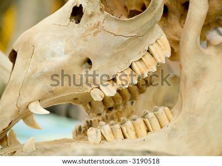 animal skull close up shot - stock photo