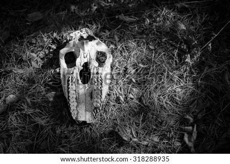 Animal skull is found in the woods. Black and White - stock photo