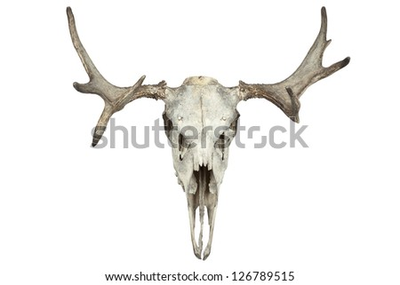Animal skull isolated on white - stock photo