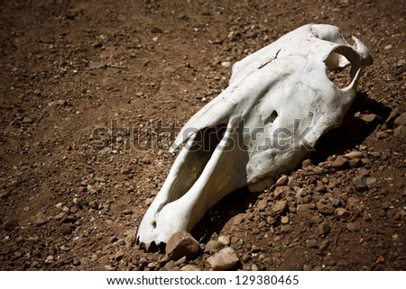 animal skull on the ground - stock photo