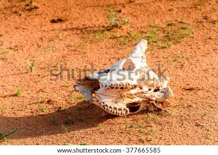 Animal skull on the ground at the Erindi Private Game Reserve, Namibia