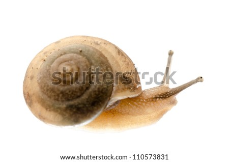 animal snail isolated on white
