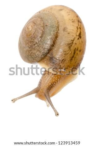animal snail isolated on white - stock photo