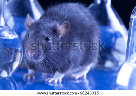 Animal testing in laboratory. rat in blue laboratorym animal experiments - stock photo