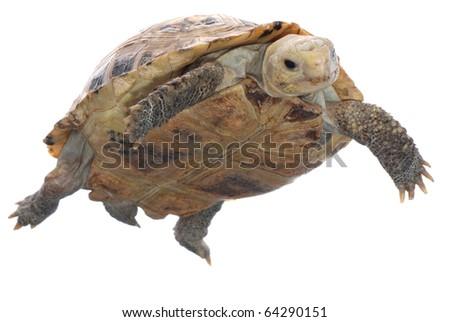 animal turtle tortoise isolated in white background - stock photo