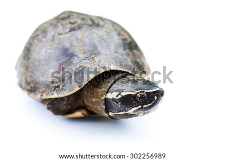 animal turtle tortoise on in white background